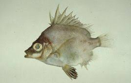 沖繩潛水日本五棘鯛