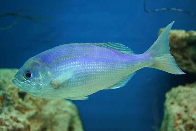 沖繩潛水藍色擬烏尾鮗