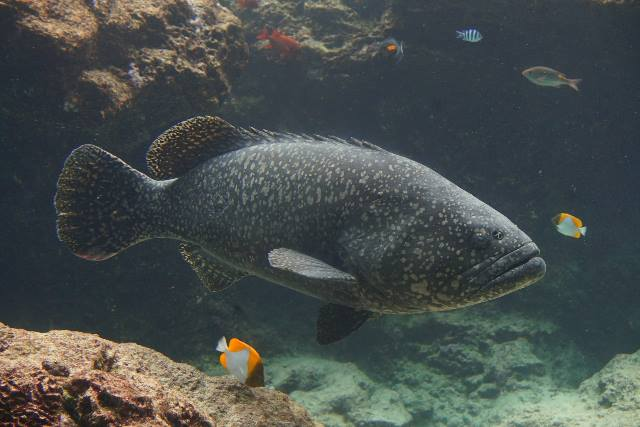 沖繩潛水鞍帶石斑魚