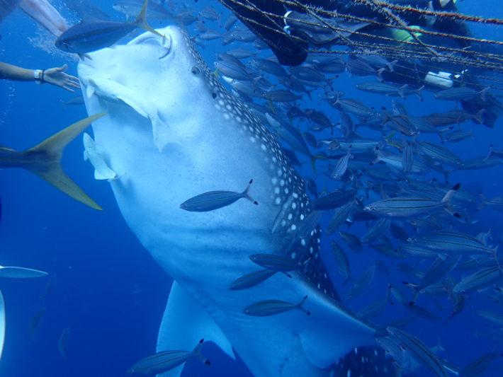 沖繩 fun dive 鯨鯊 潛水