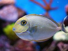 沖繩潛水高鼻魚幼魚