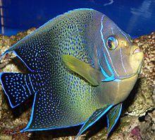 沖繩潛水疊波蓋刺魚
