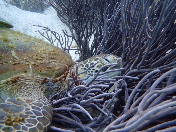 沖繩潛水玳瑁海龜