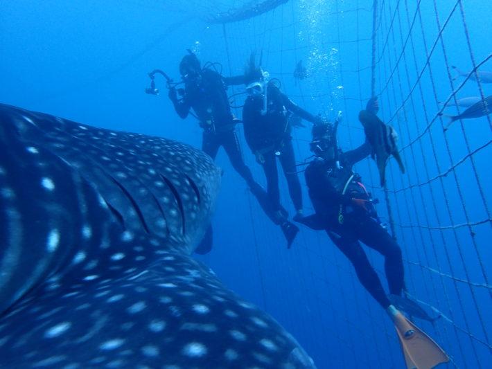 沖繩潛水鯨鯊