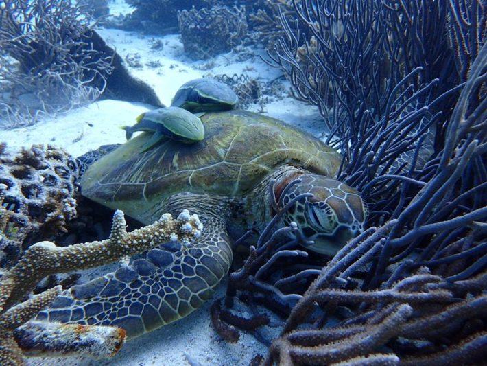 沖繩潛水海龜玳瑁