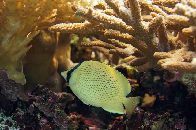 沖繩潛水胡麻斑蝴蝶魚