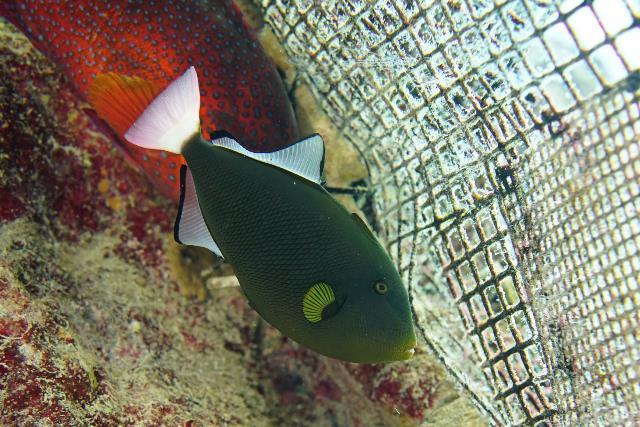 沖繩潛水角鱗魨