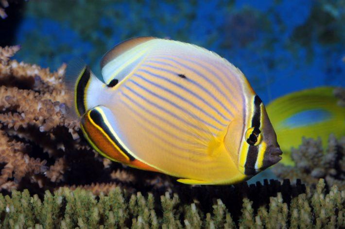 沖繩潛水三帶蝴蝶魚