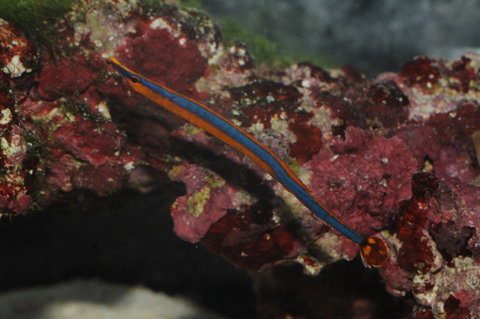 沖繩潛水黑腹海龍