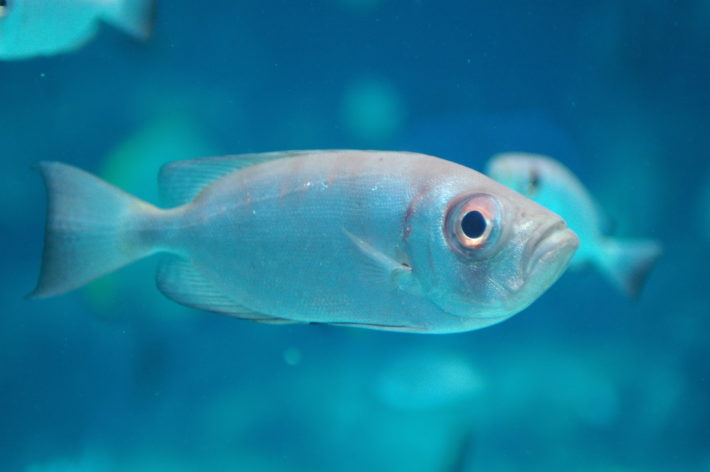 沖繩潛水寶石大眼鯛