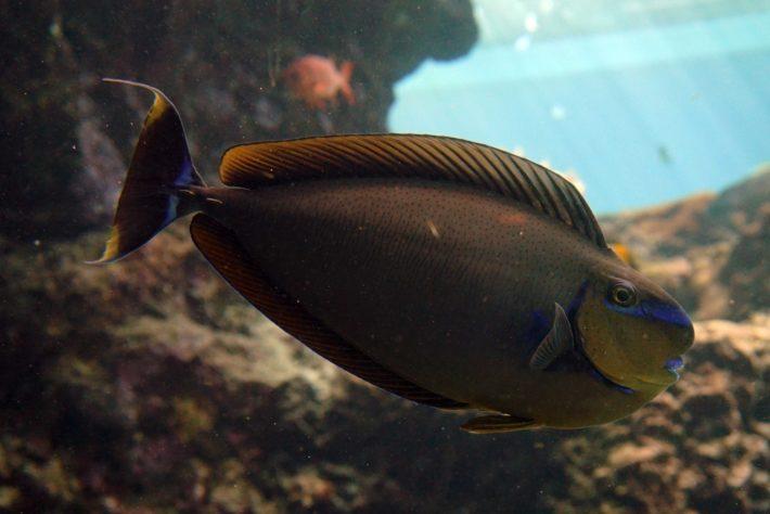 沖繩潛水高鼻魚