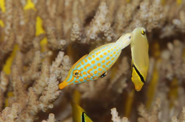沖繩潛水尖吻單棘魨